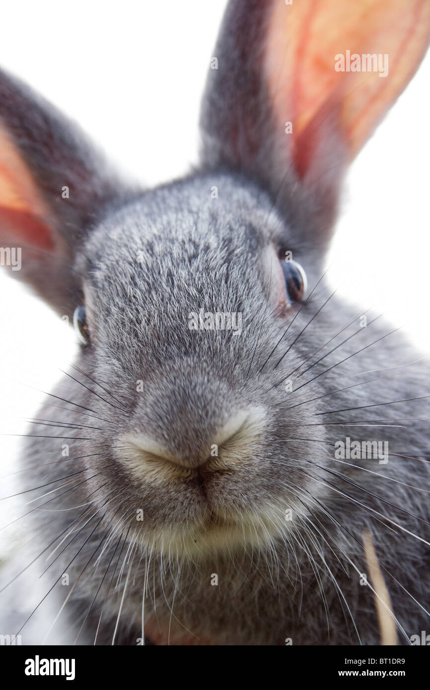 Image of cautious grey bunny muzzle looking at camera - Stock Image