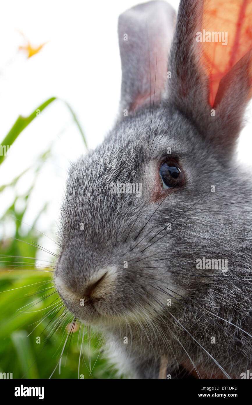 Image of cautious grey bunny looking at camera - Stock Image
