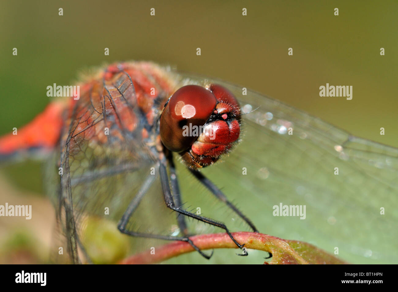 Big red face with red eyes of red dragonfly Stock Photo