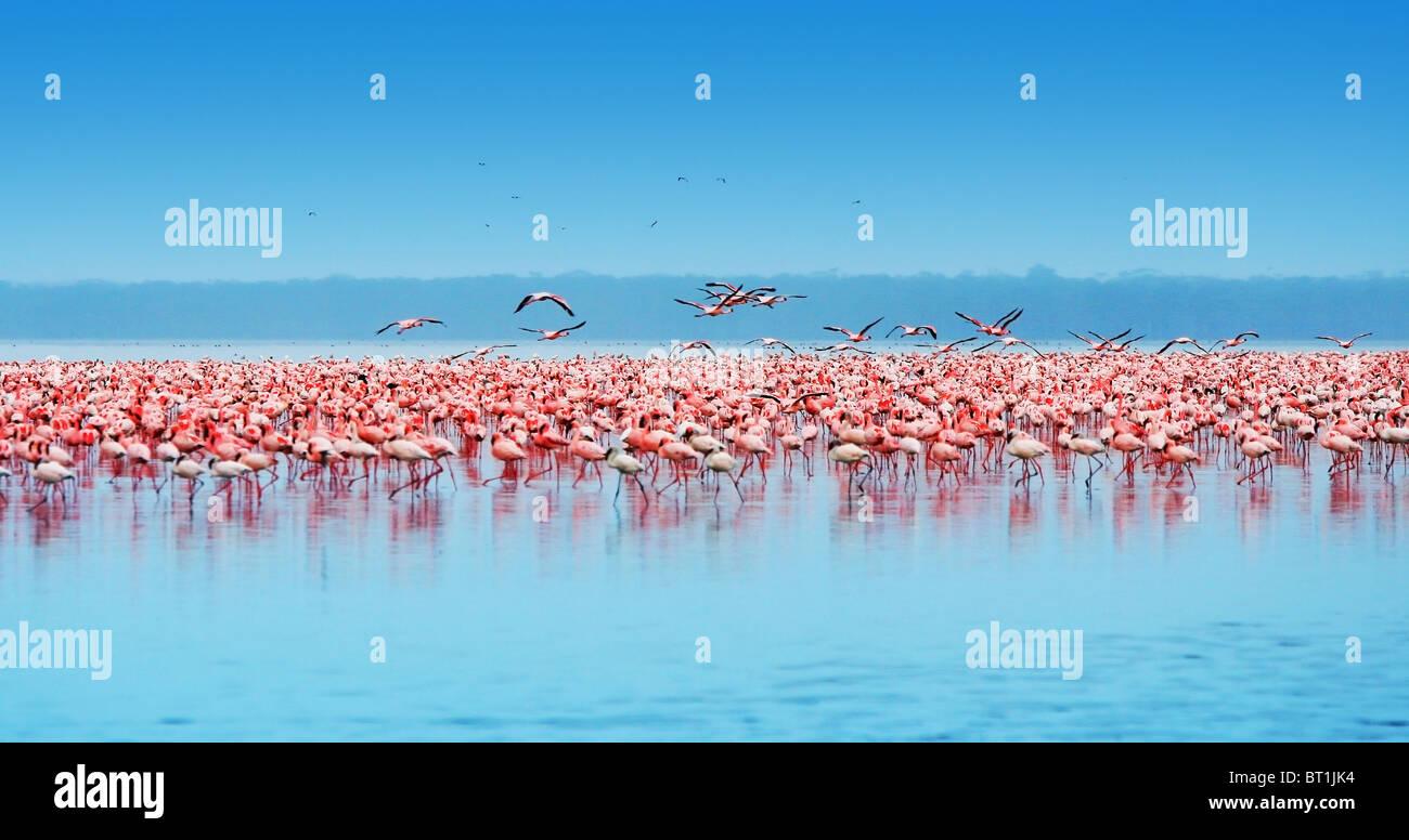 African safari, flamingos in the lake Nakuru, Kenya - Stock Image