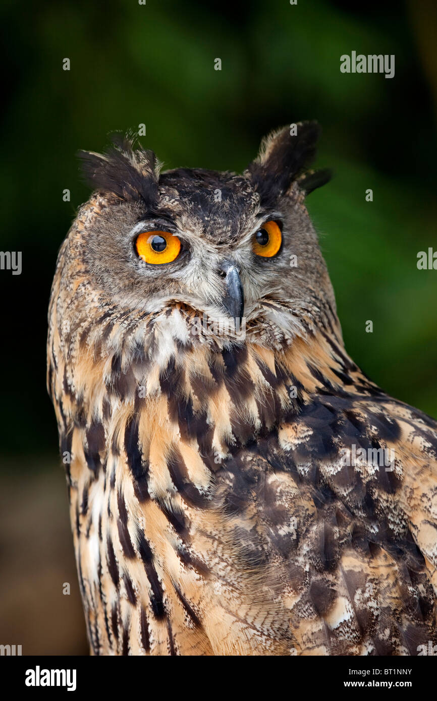 Buho Real Eagle Owl - Stock Image