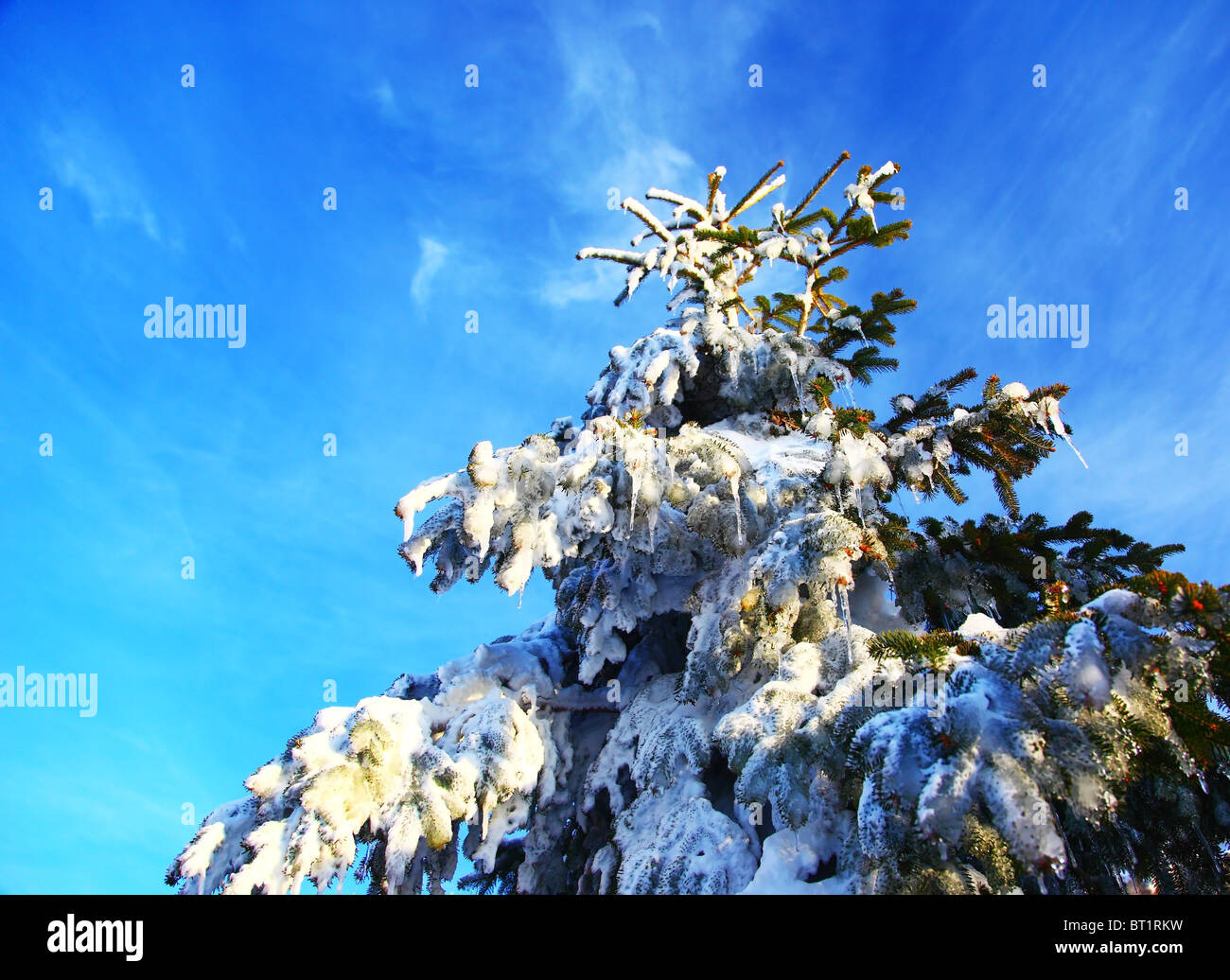 Christmas tree covered with snow over blue sky - Stock Image
