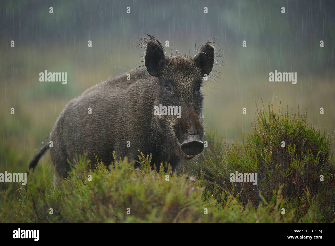 Wild Boar (Sus scrofa). Young female standing in rain, Netherlands. - Stock Image