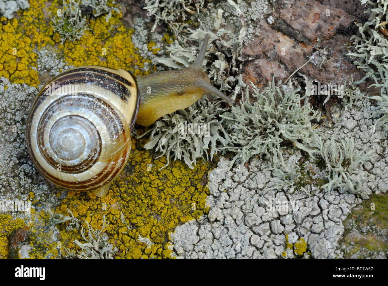 Brown-lipped Snail, Grove Snail, Grovesnail, English Garden Snail,  (Cepaea nemoralis) crawling on lichen covered Stock Photo