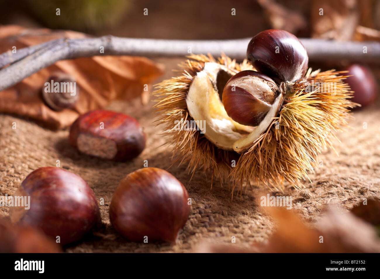 Chestnuts with Bur - Stock Image