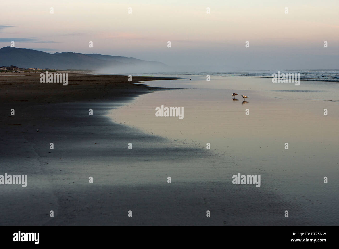 Sandpipers looking for insects on the beach at dusk. - Stock Image