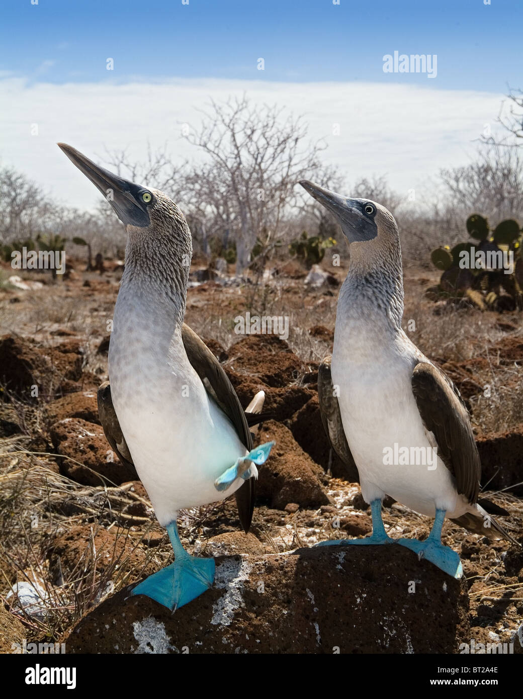 The Blue-footed Boobies a bird in the Sulidae family which comprises ten species of long-winged seabirds. - Stock Image
