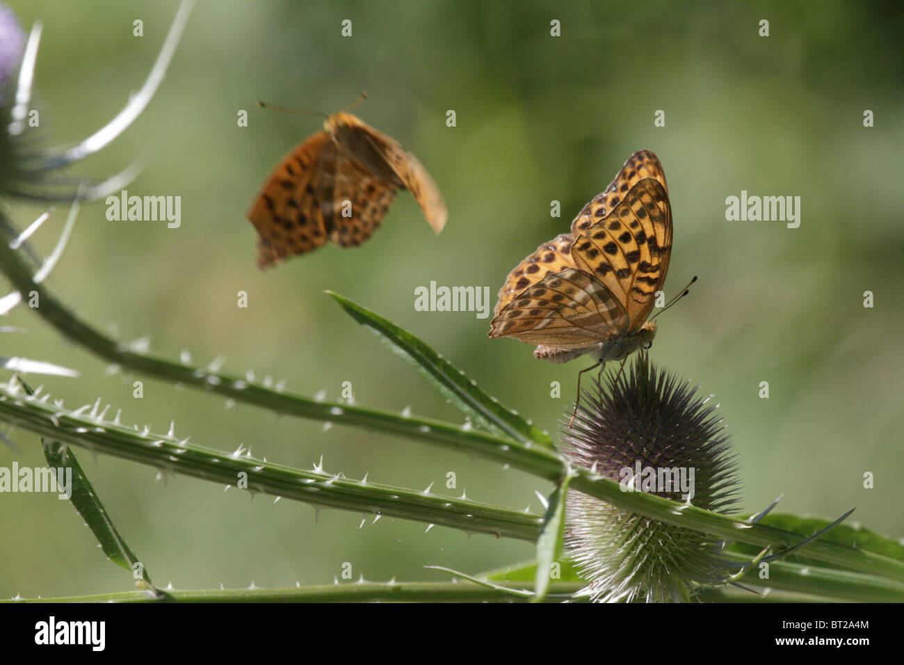 Argynnis paphia, Silver-washed Fritillary. One butterfly sits on the thistle, while another approaches to feed. - Stock Image