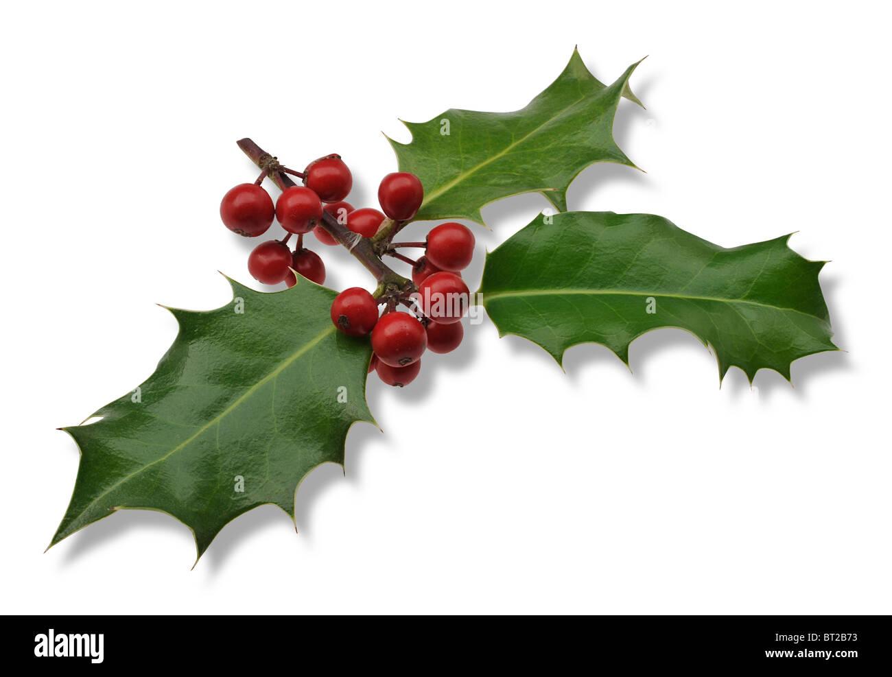 Christmas Holly - Stock Image