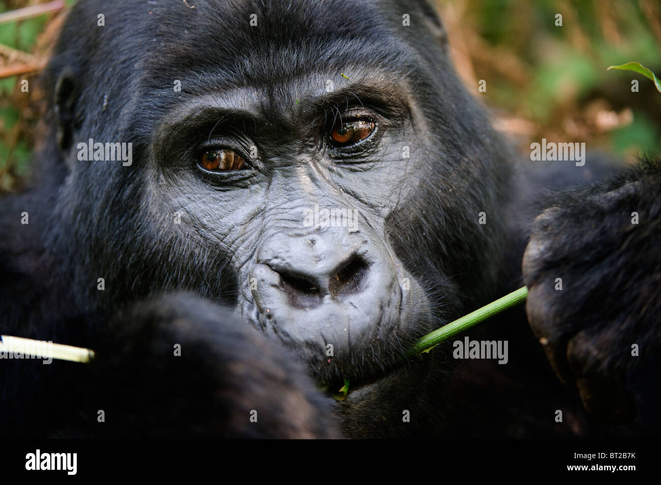 The Mountain Gorilla eating. - Stock Image