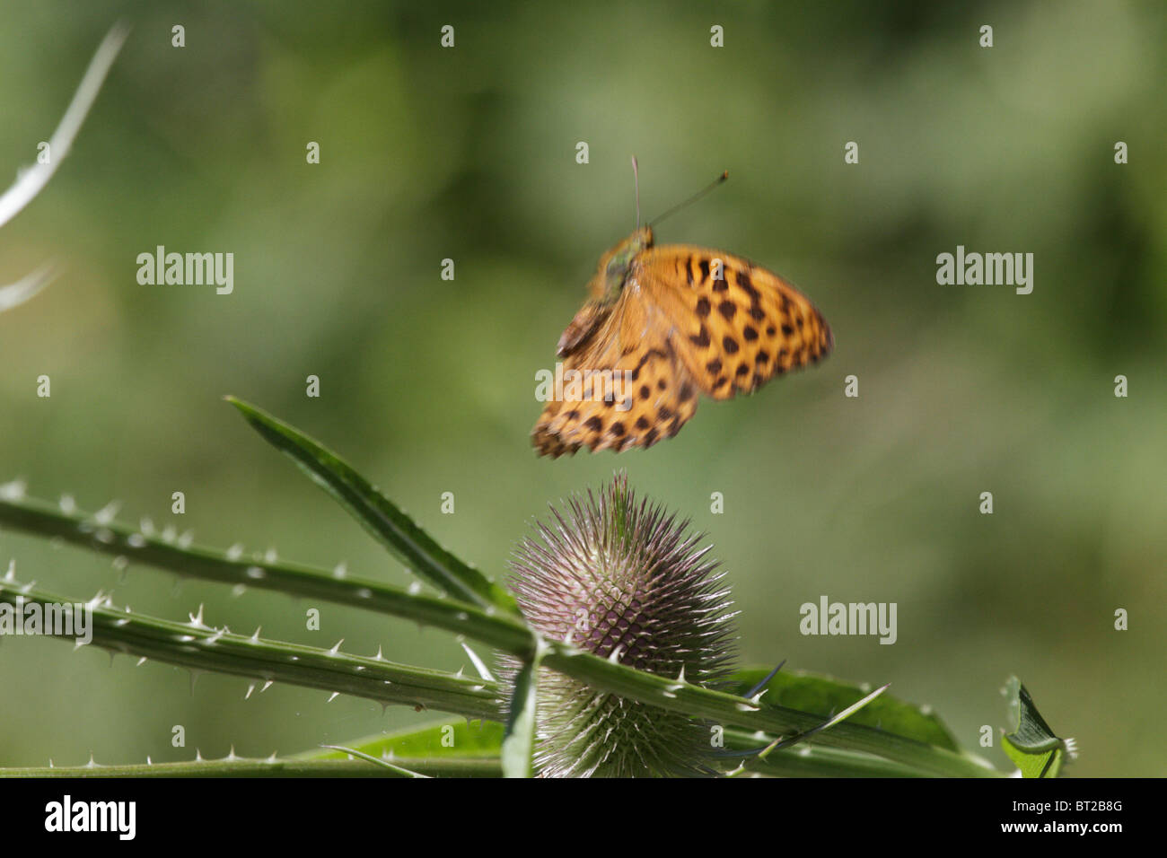 Argynnis paphia, Silver-washed Fritillary. The butterfly is approaching a thistle to feed. - Stock Image