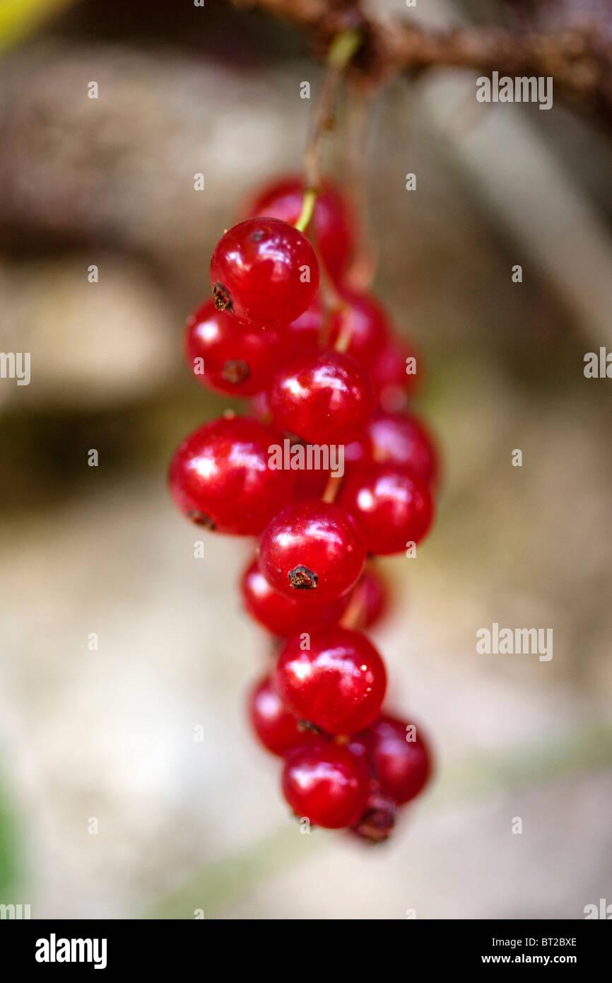 Grosella roja Redcurrant - Stock Image