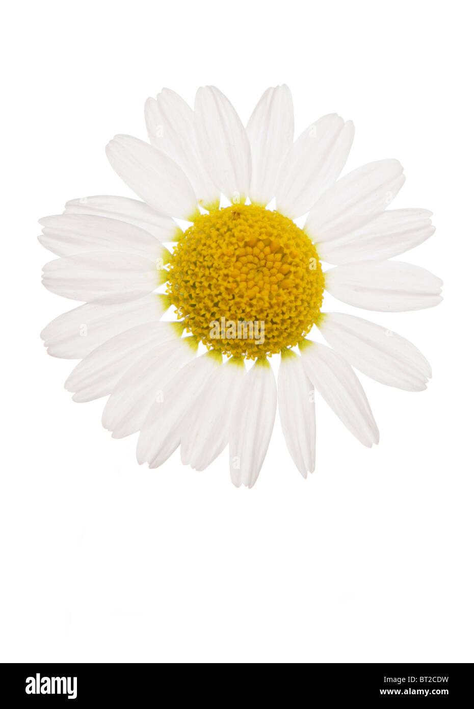 oxeye Daisy flower studio cutout - Stock Image