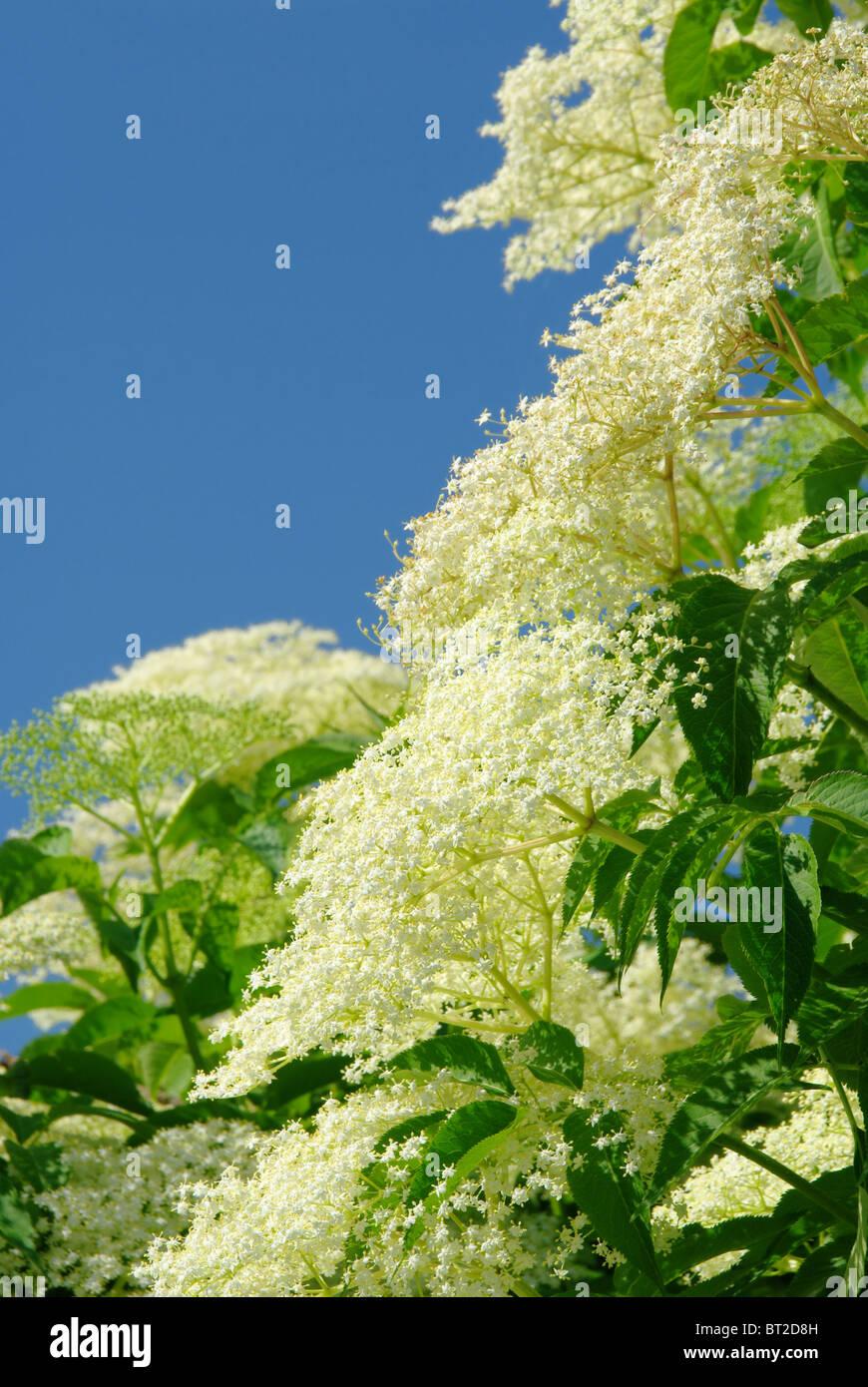 Holunder Blüte - elder flower 17 - Stock Image