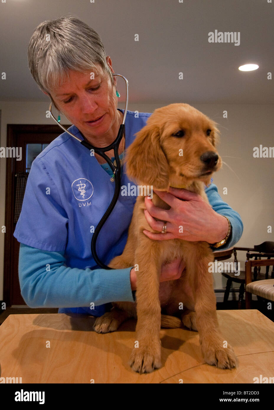 Female veterinarian examines a puppy at a veterinary clinic - Stock Image