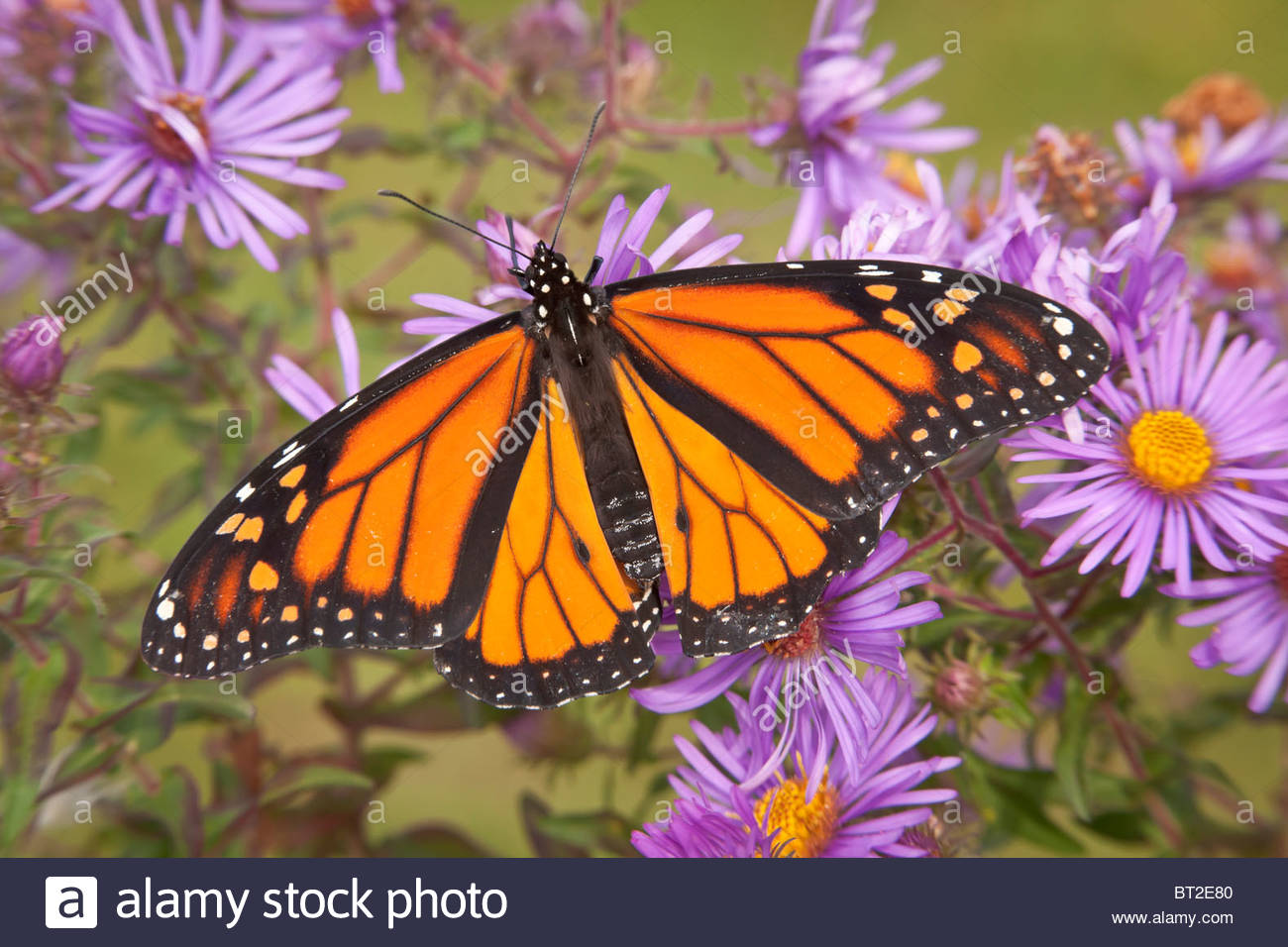 Monarch Butterfly on a Late Purple Aster in Rouge Park an urban wilderness in Toronto Ontario Canada - Stock Image