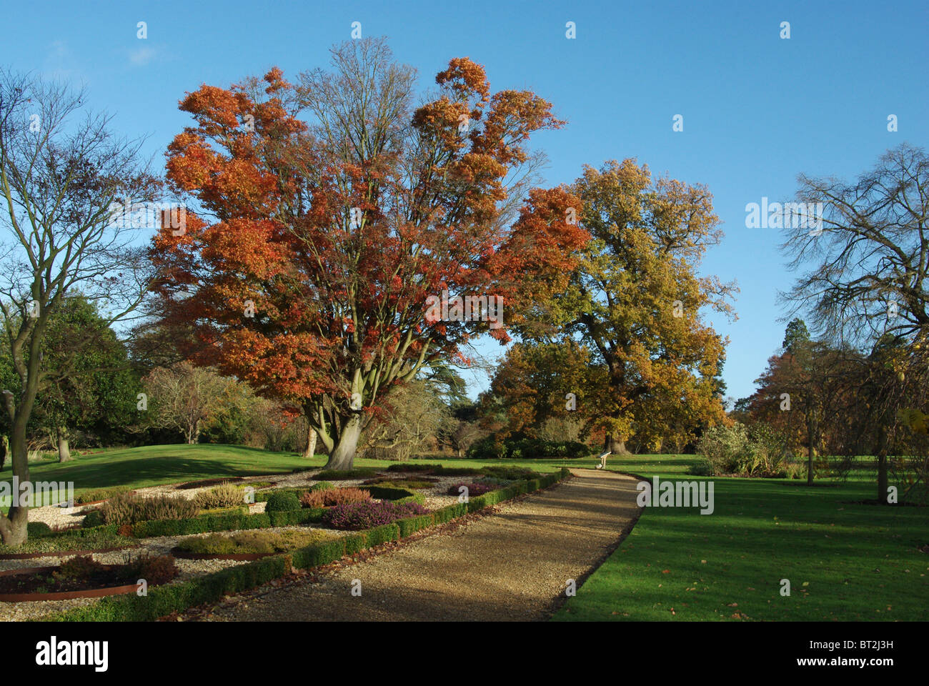 An Acer tree with its Autumn foliage in Woburn Abbey Gardens - Stock Image