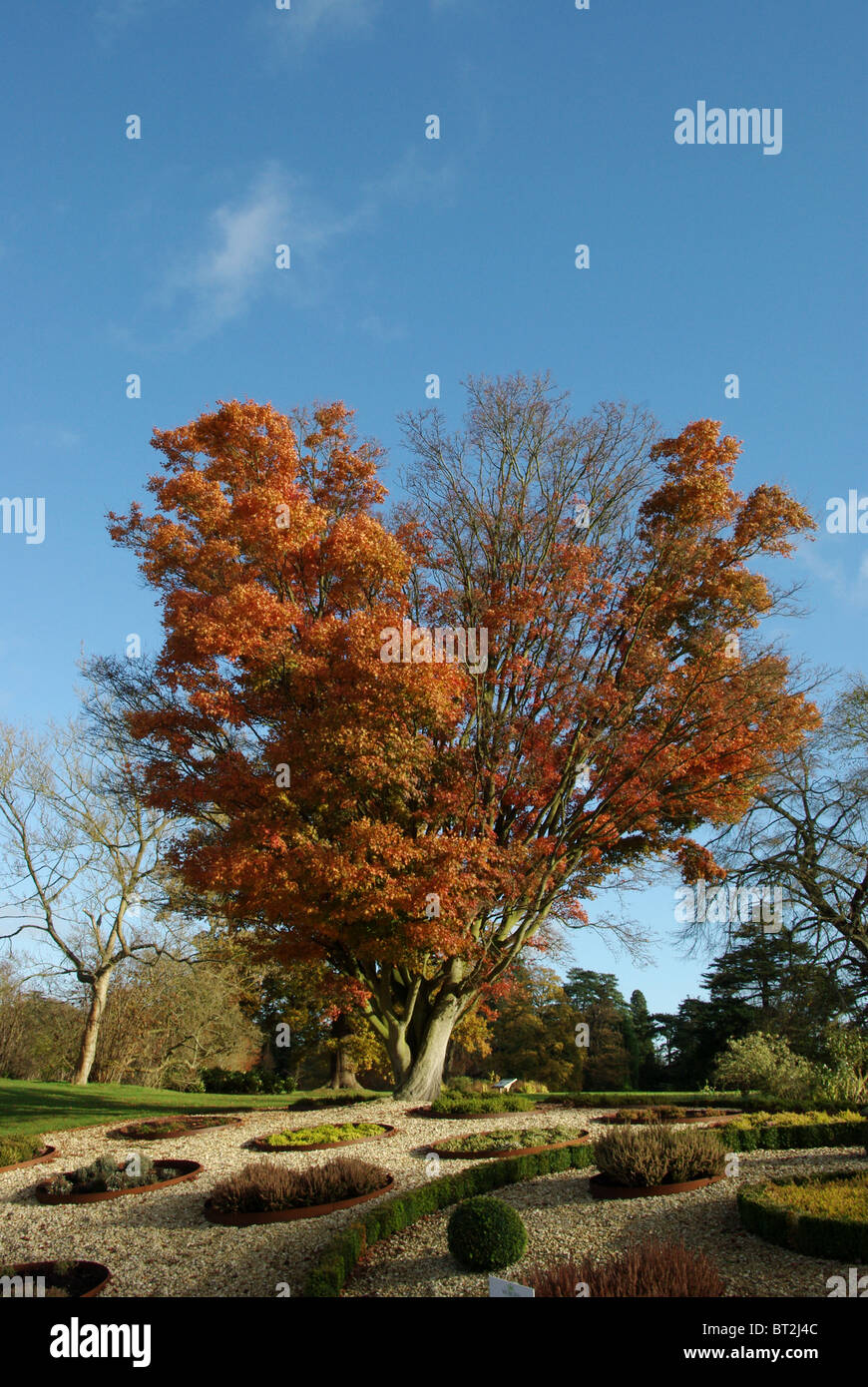An Acer tree with its Autumn foliage in Woburn Abbey Gardens. - Stock Image