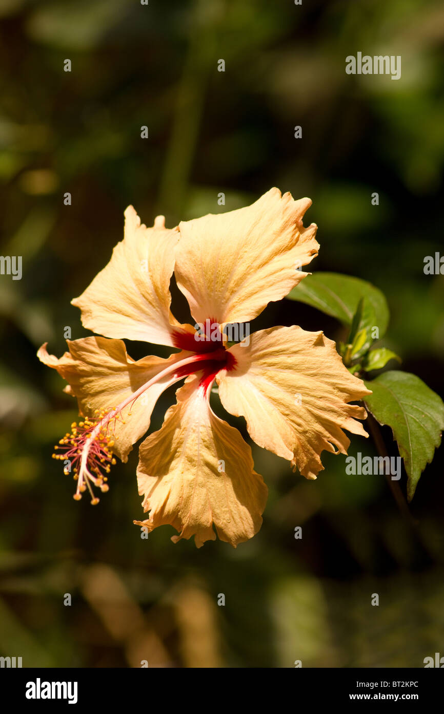 Close Up Of Peach Hibiscus Flower In A Garden Stock Photo 32021540