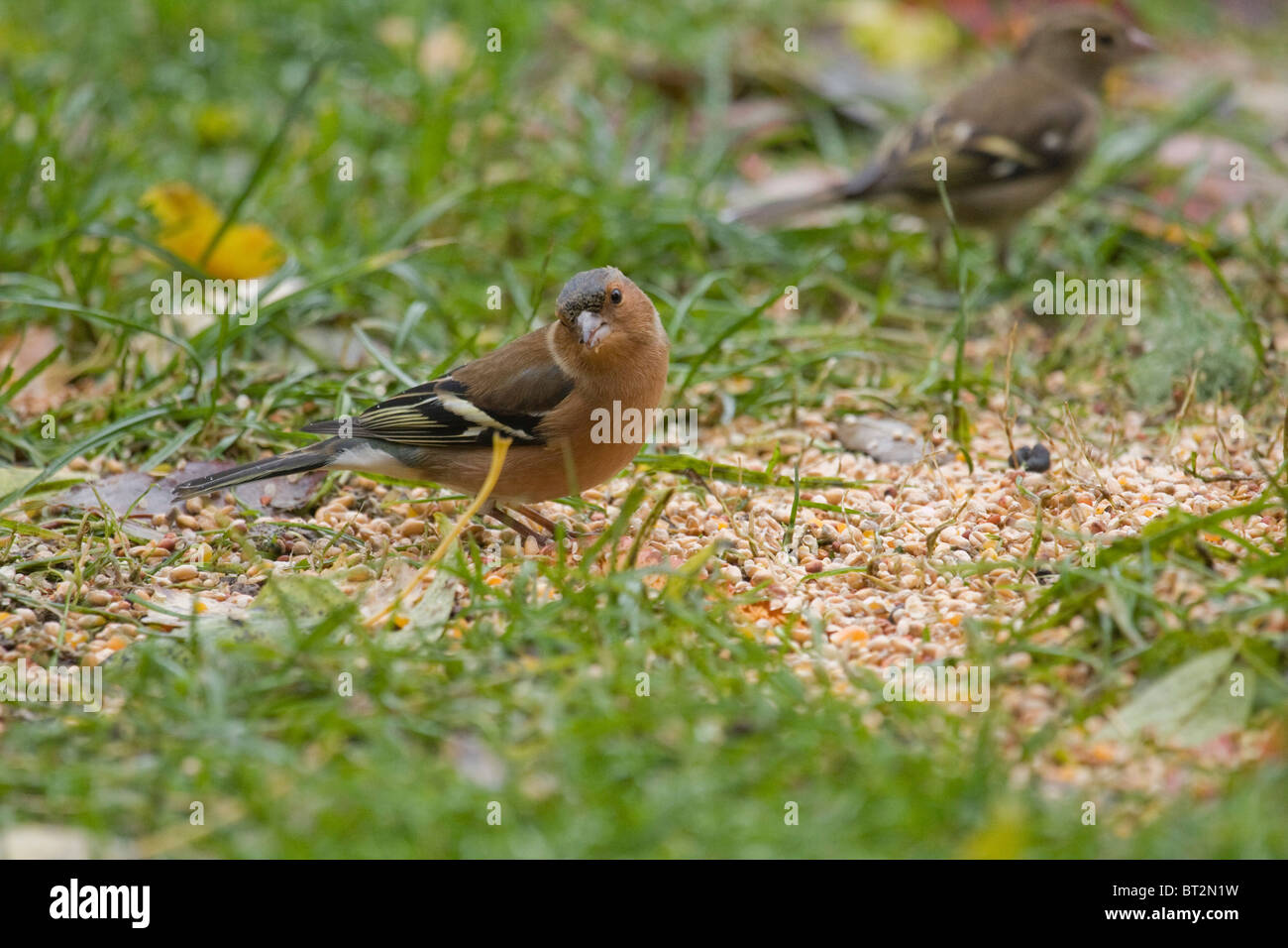 Male chaffinch on the ground. - Stock Image