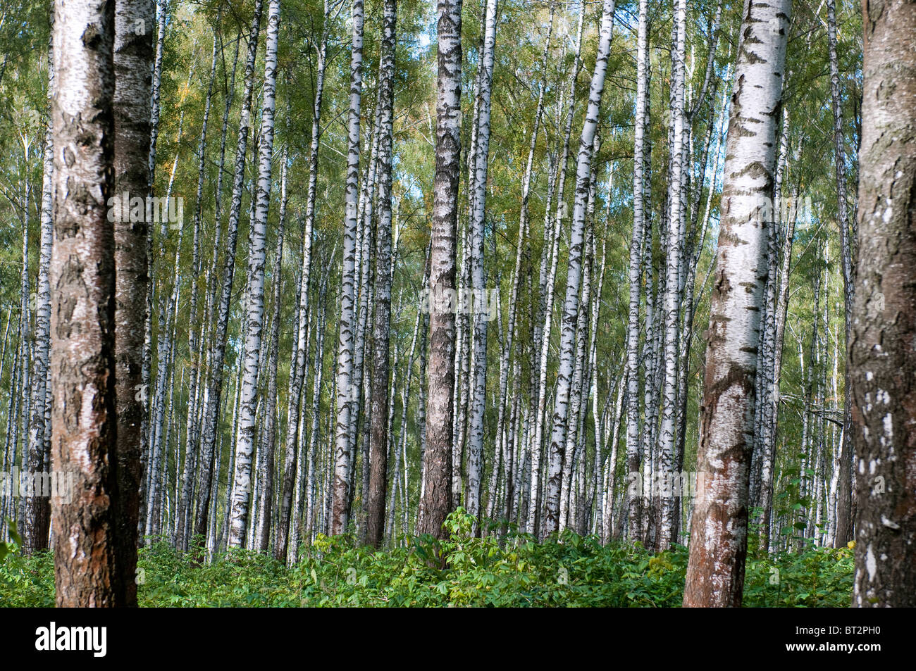 Autumn primeval birch`s forest - Stock Image