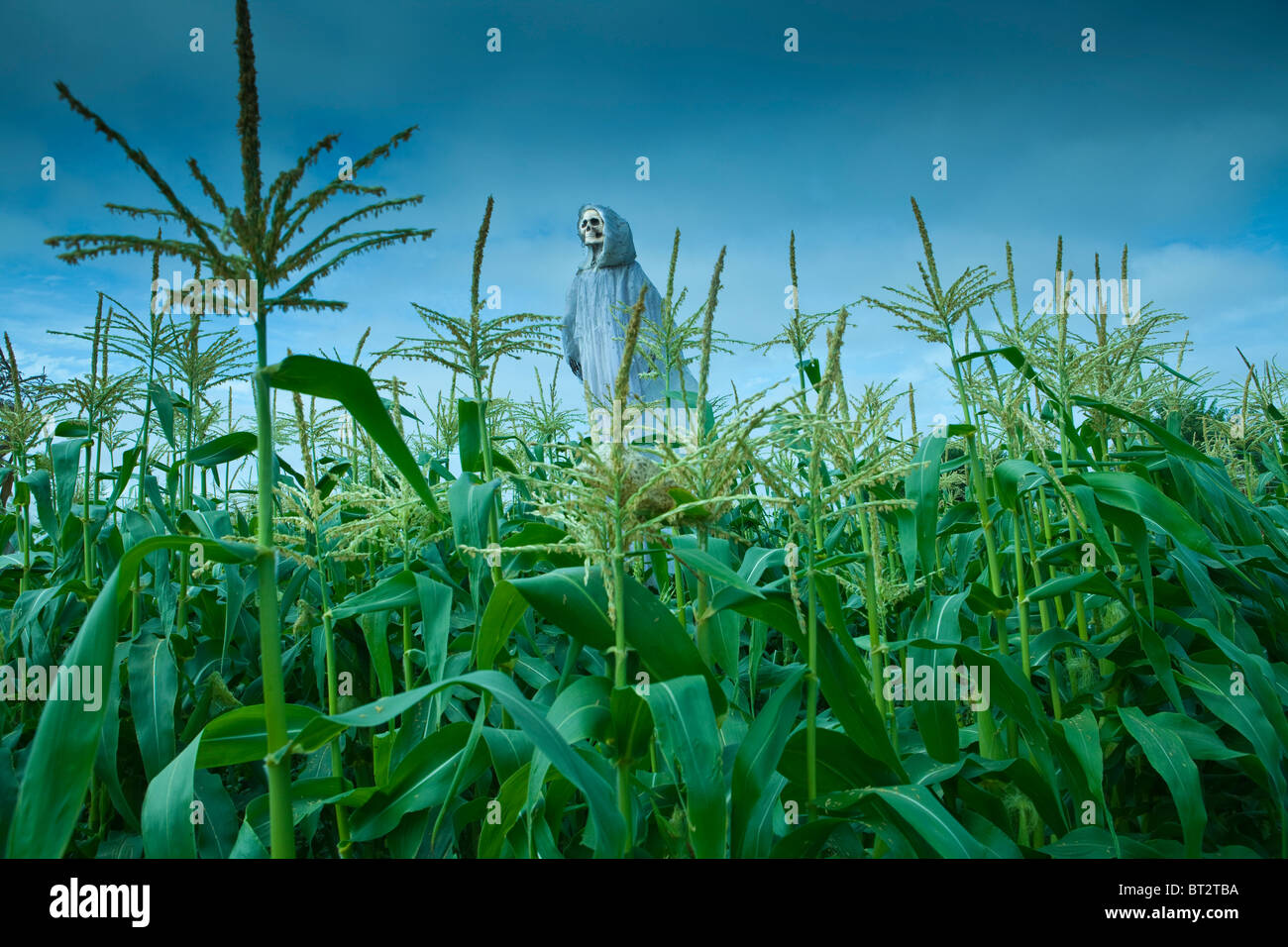 cornfield with skeleton scarecrow at Halloween, Santa Ynez Valley, California, United States of America - Stock Image