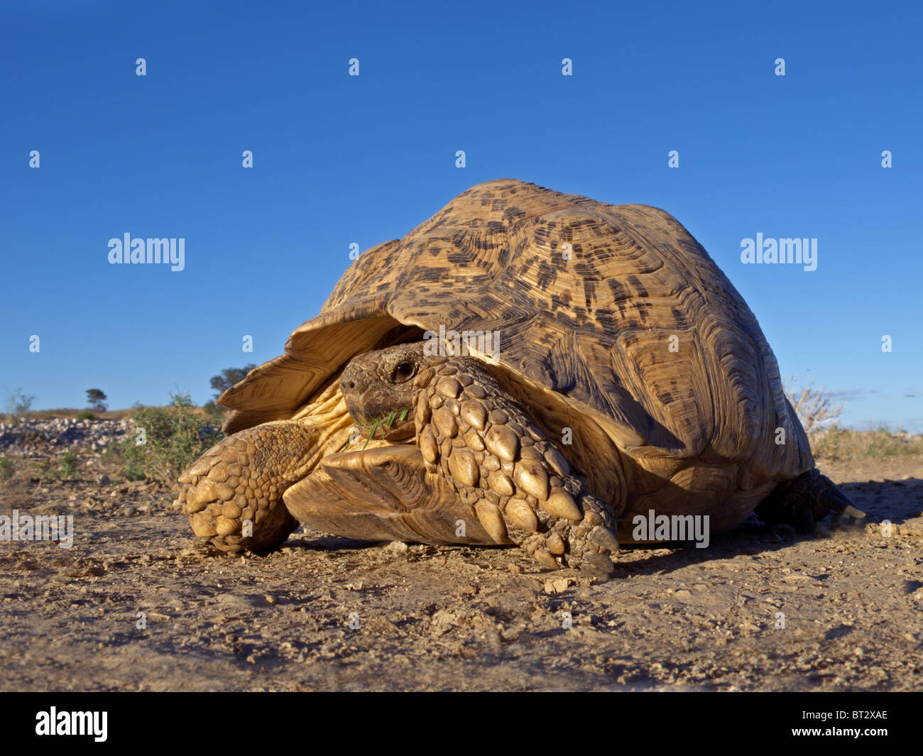 Mountain or leopard tortoise (Geochelone pardalis), Kgalagadi Transfrontier Park, South Africa - Stock Image