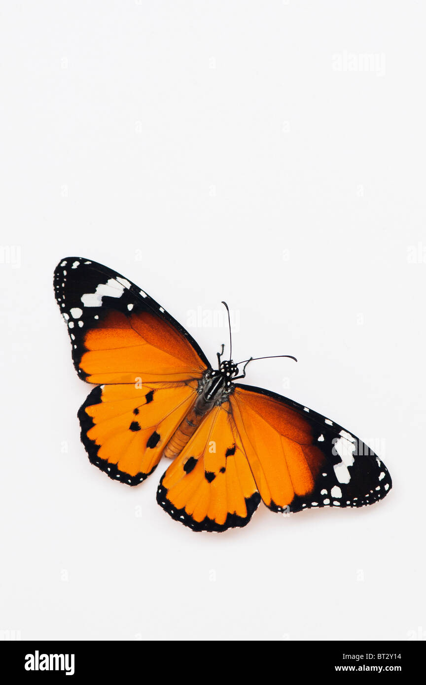 Danaus chrysippus. Plain tiger butterfly on a white background. India - Stock Image