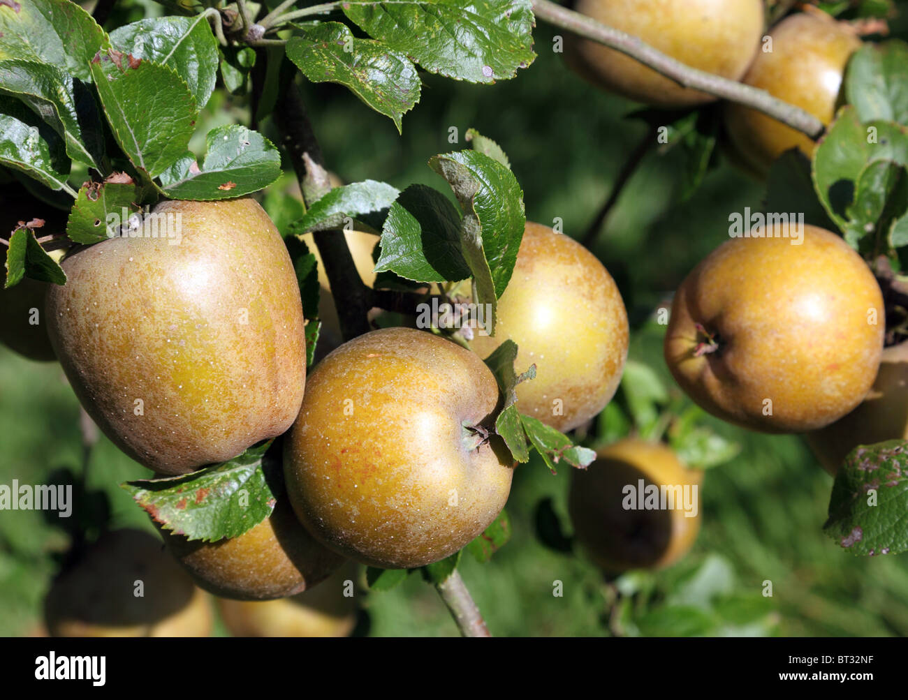 Russet apples ripening on the tree - Stock Image