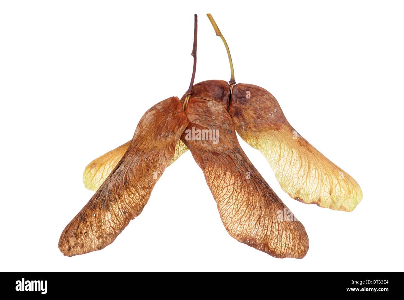 Maple tree seeds isolated in studio - Stock Image