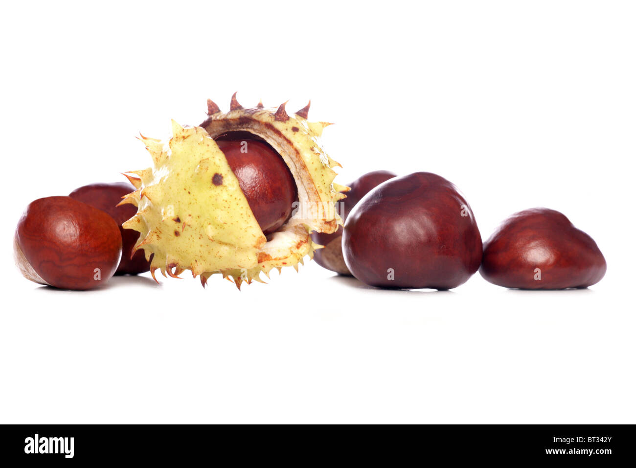horse-chestnut conkers isolated studio cutout - Stock Image