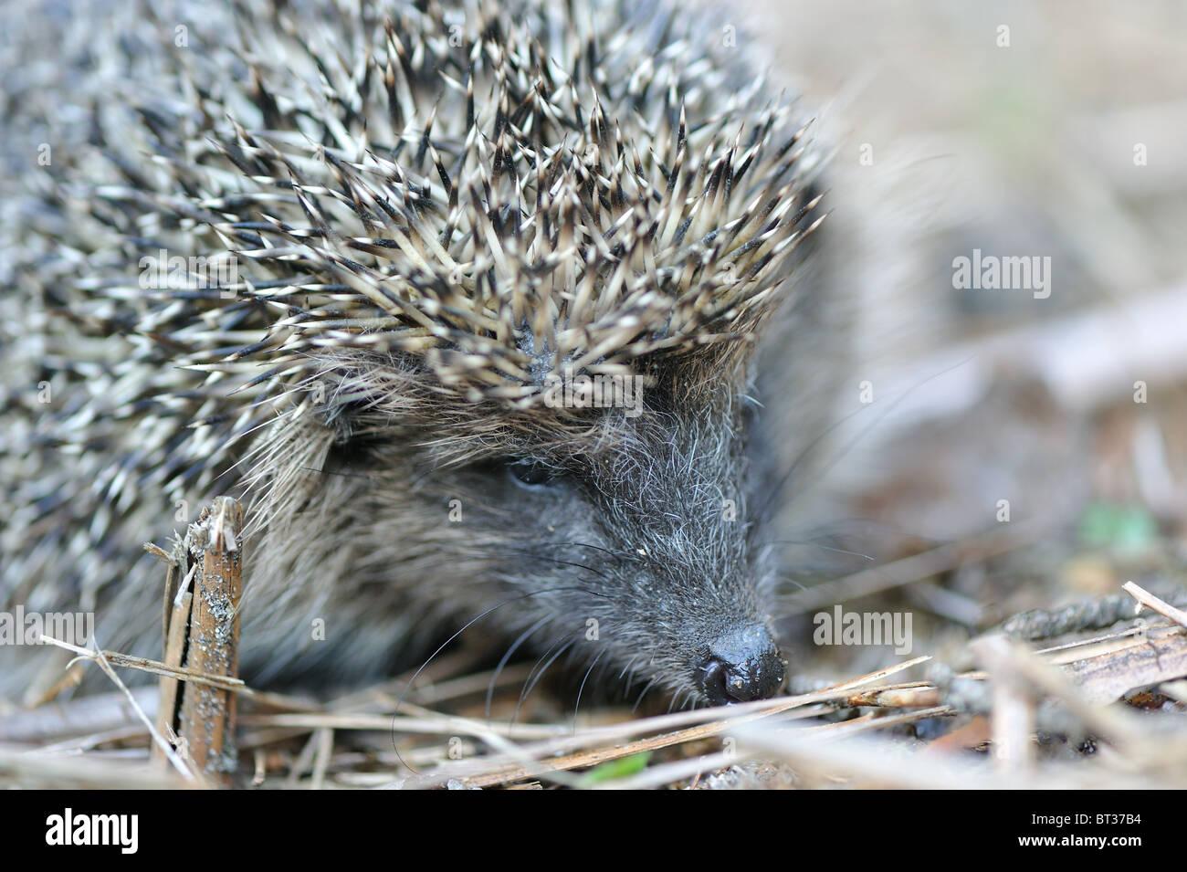Western European hedgehog (Erinaceus europaeus) - portrait - Stock Image