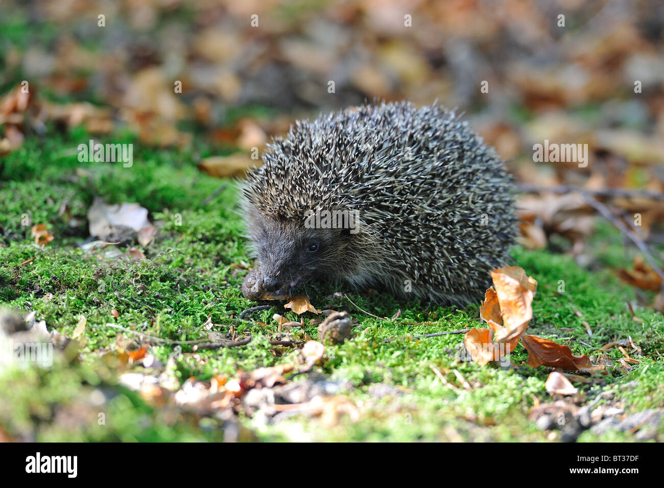 Western European hedgehog (Erinaceus europaeus) eating a snail - Stock Image