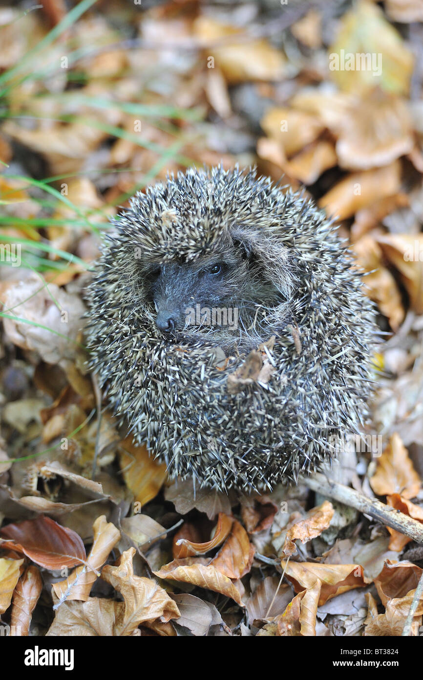 Western European hedgehog (Erinaceus europaeus) unrolling itself - Stock Image