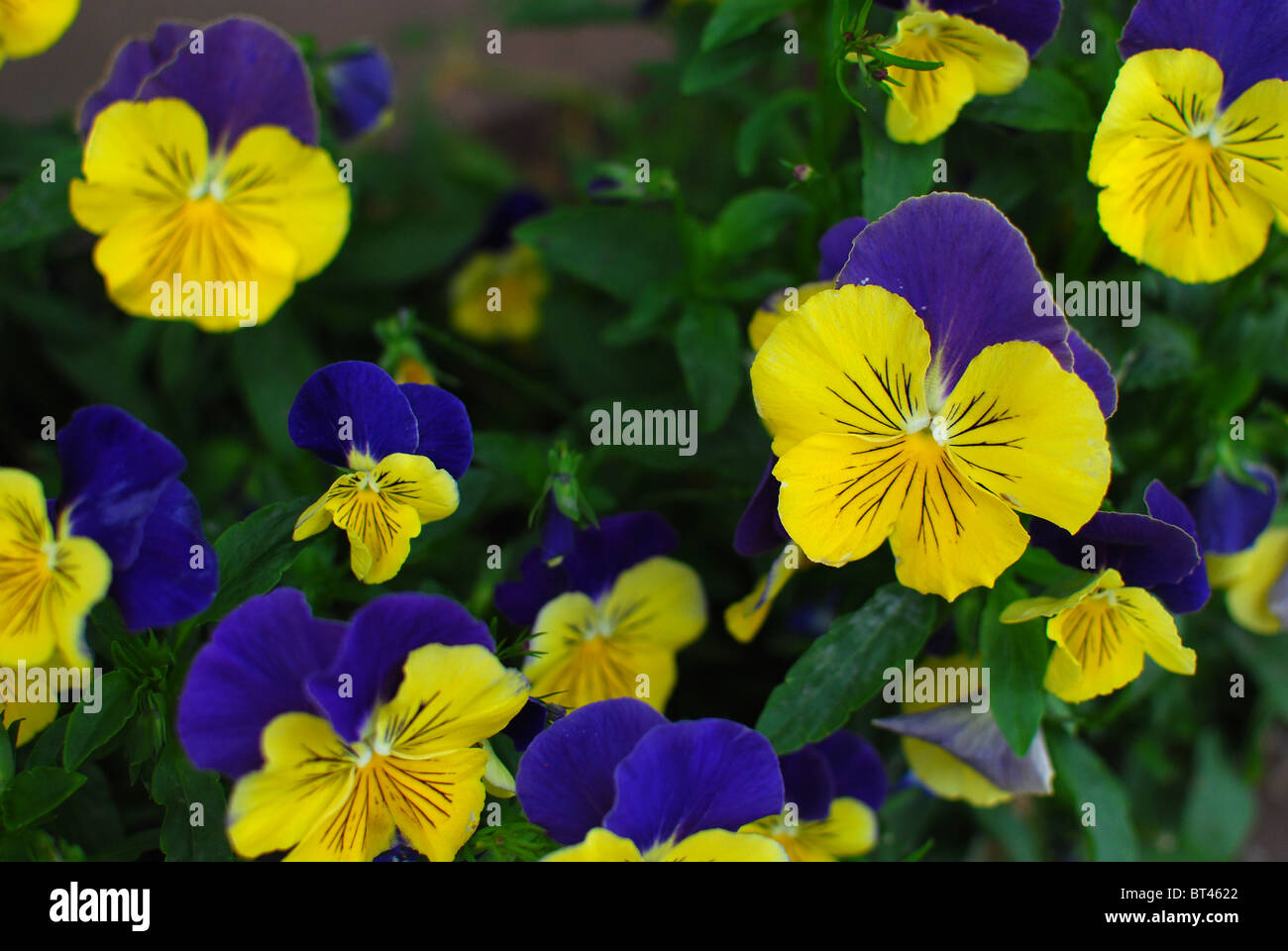 Colorful old-fashioned pansies for loving thoughts - Stock Image