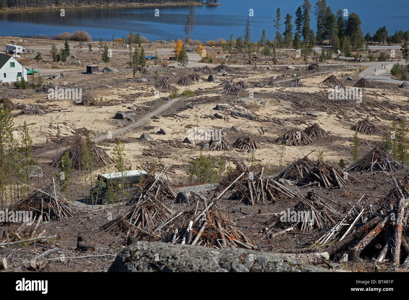 Pine Trees Cut Down After They Were Killed by Mountain Pine Beetle - Stock Image