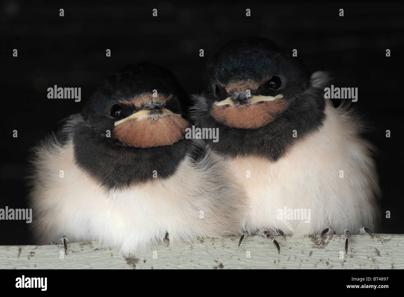 juvenile swallows have left their nest the first time and waiting for feeding on a timber; Hirundinidae - Stock Image