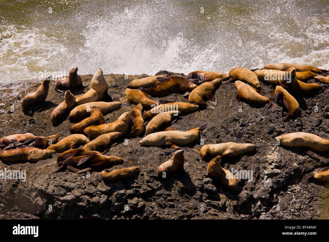 OREGON, USA - sea lions pinnipeds on rocks - Stock Image