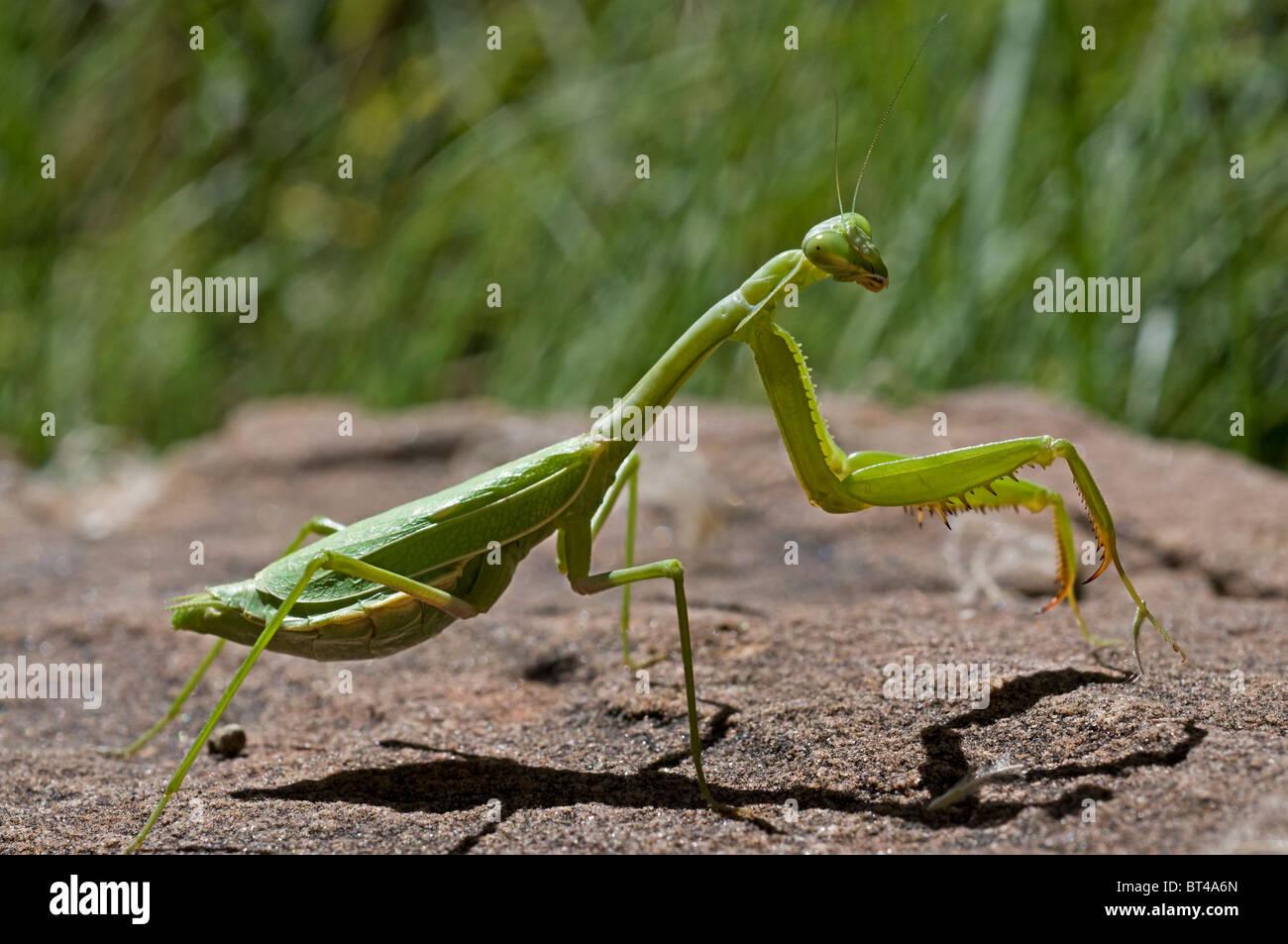 Green Preying Mantis - Stock Image