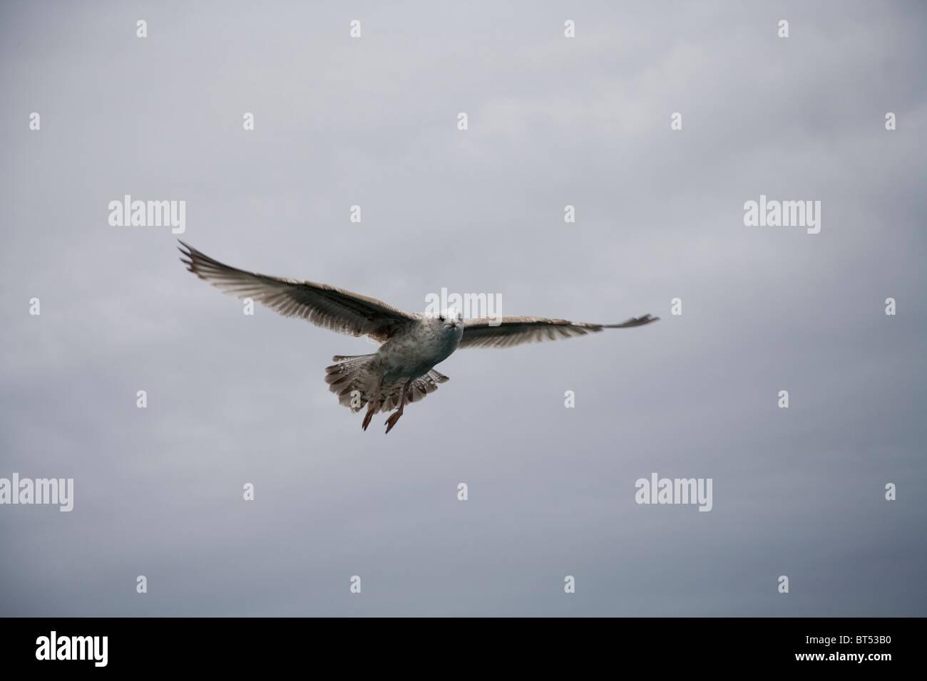 Sea gull in flight above sea - Stock Image