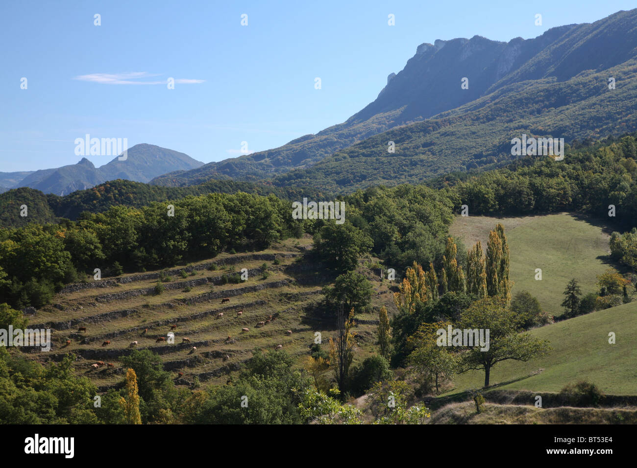 Drôme Valley view, Les Trois Becs (with cows in a terraced field) - Stock Image
