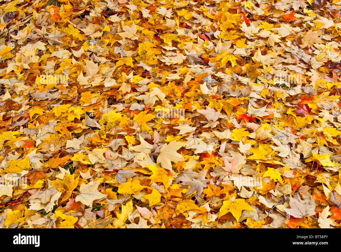 Carpet of autumn leaves in North Carolina, USA - Stock Image