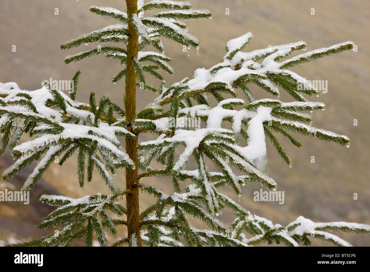 Norway Spruce tree covered with light snow and frost, high in the Fagaras Mountains, southern carpathians, Romania Stock Photo