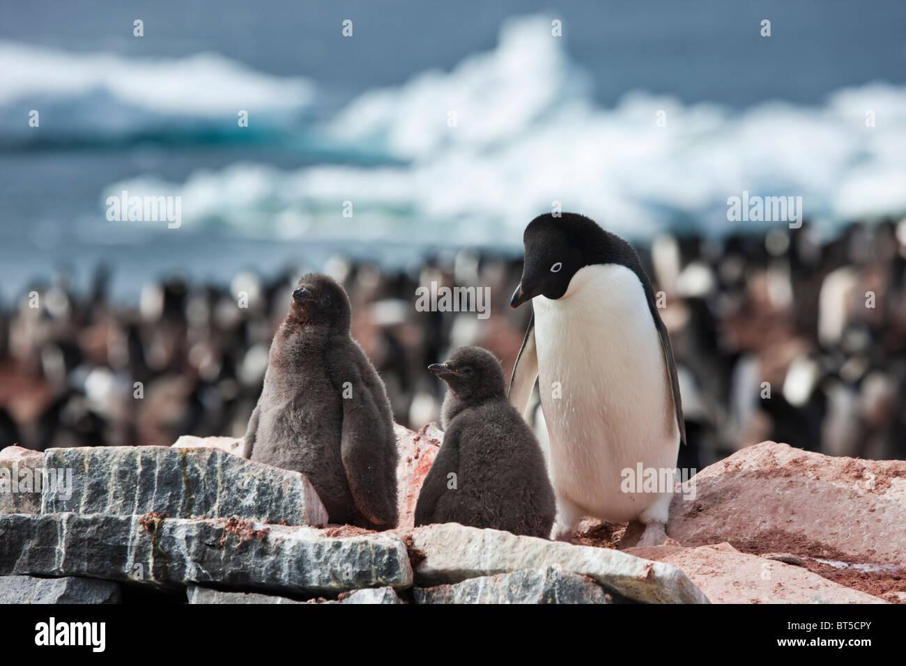 Adelie penguin colony on Paulet Island, Antarctic Peninsula. - Stock Image
