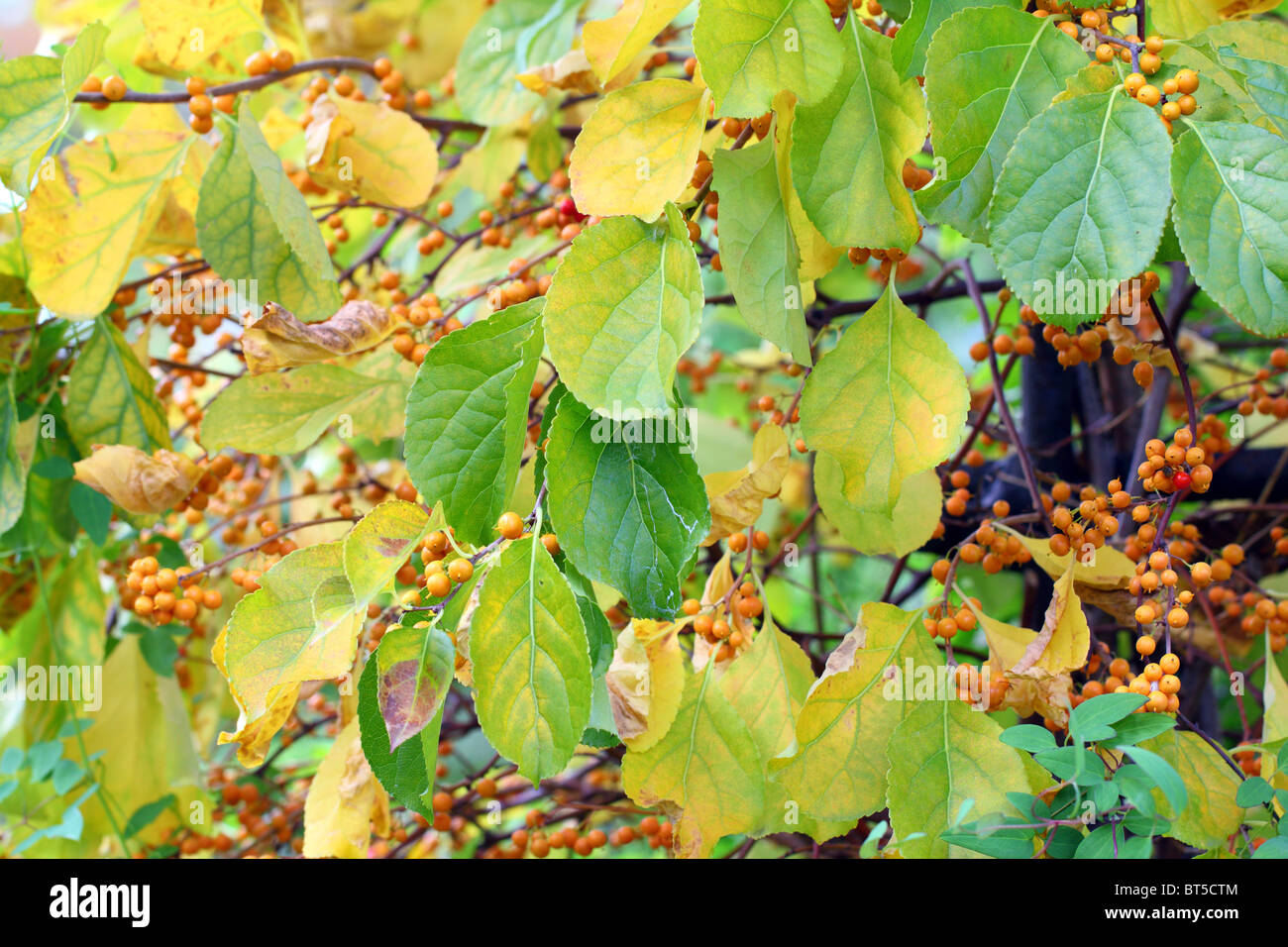 Chinese Bittersweet Oriental Bittersweet Autumn Fruits Berries And Stock Photo Alamy,Napoleon Pastry Near Me