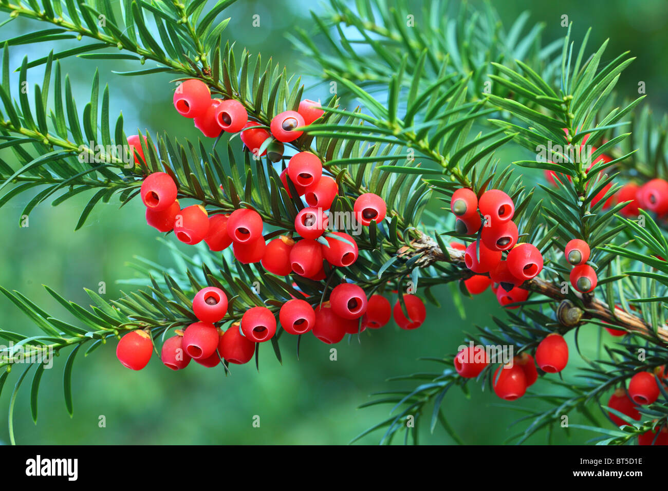 Yew tree red berries on a twig Taxus baccata - Stock Image