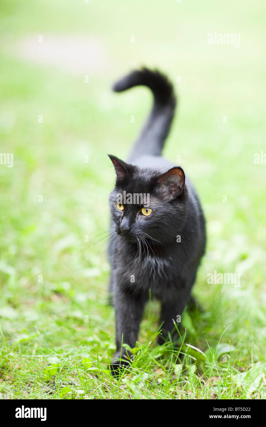 Black cat in grass - Stock Image