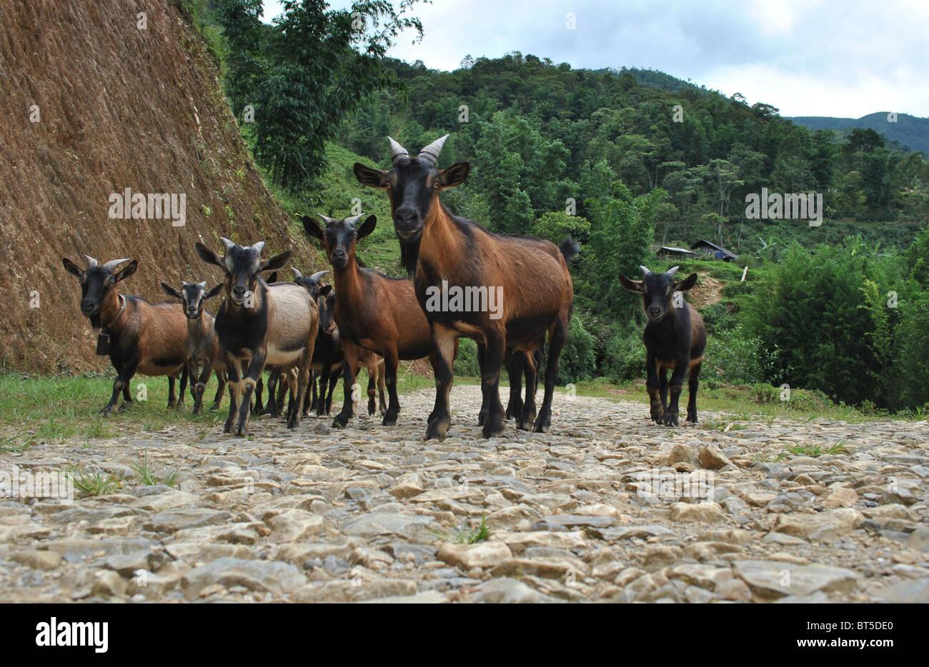 Herd of goats on a mountain path near Sapa, Vietnam - Stock Image