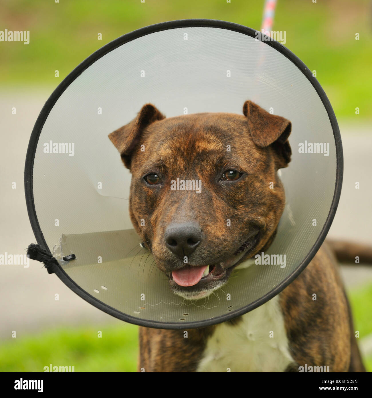 staffordshire terrier dog in a buster collar - Stock Image