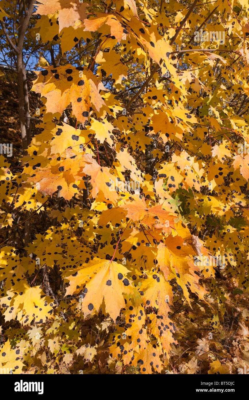 yellow maple leaves with tar spot disease - Stock Image